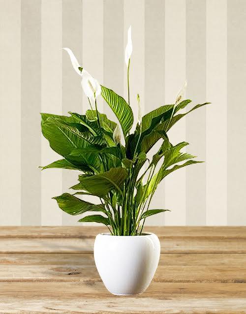 Spatifilyum salon bitkisi sipari i i ek i for Salon cicek turleri